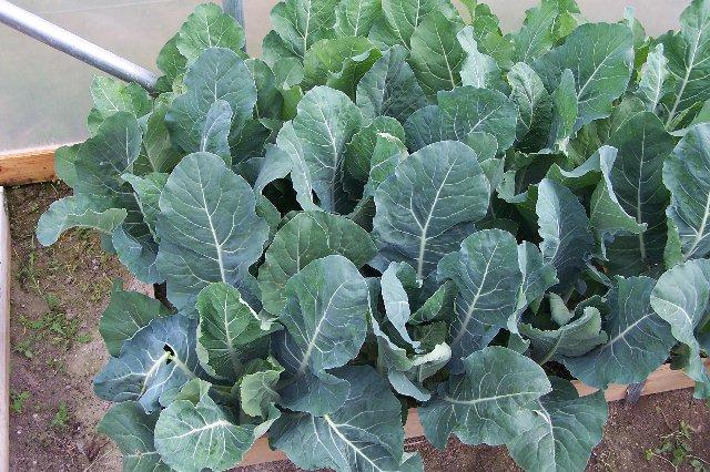 Cauliflowers: at one square spacing Caulis12