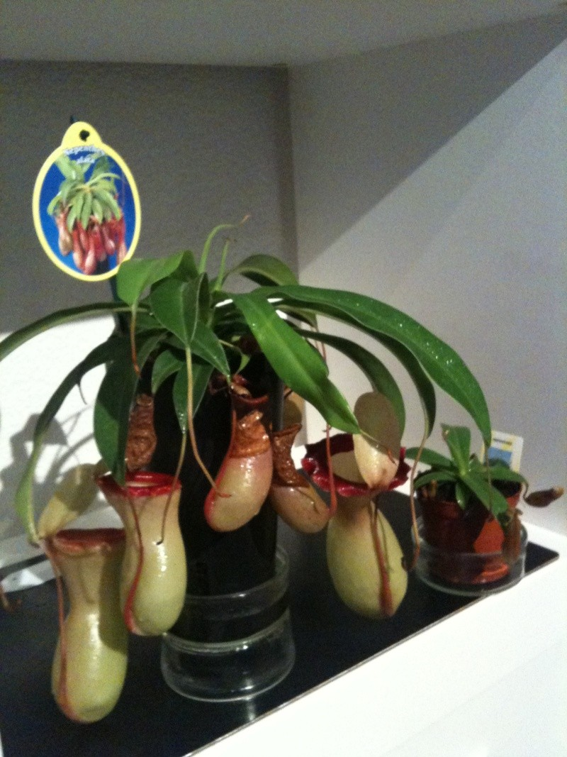 Quel Nepenthes ??? Img_0614