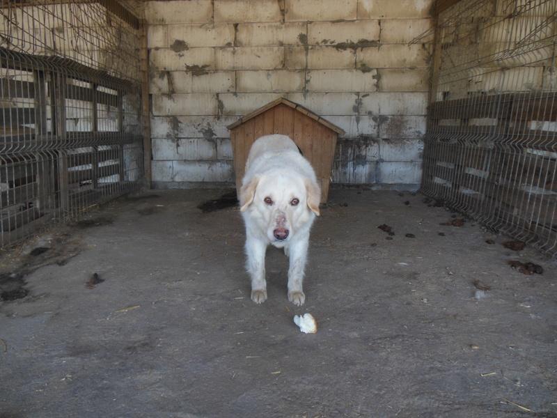 BALANUCH, mâle croisé berger sauvé de Pallady, né en 2009 parrainé par Nathalie Gamblin-SC-R-SOS- - Page 2 11610
