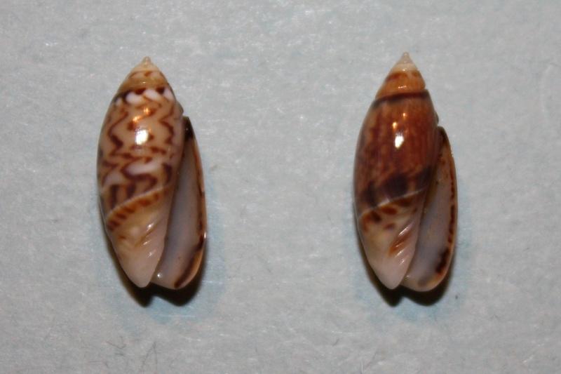 Olivella pulchella oteroi - Bermejo, 1979 1-oliv10