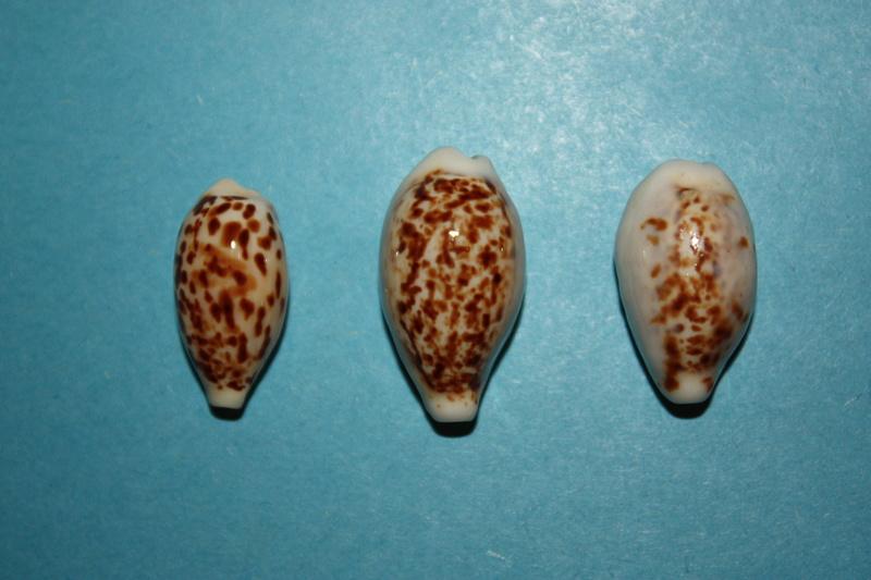 Eclogavena coxeni hypercallosa - Raybaudi, 1992 13-ecl10