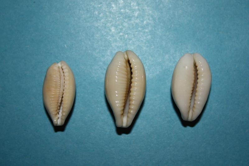 Eclogavena coxeni hypercallosa - Raybaudi, 1992 14-ecl11