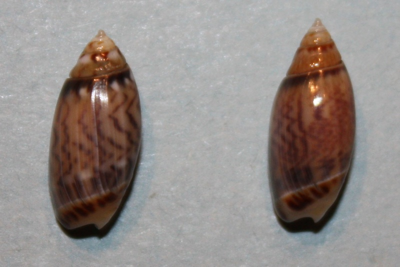 Olivella pulchella oteroi - Bermejo, 1979 2-oliv10