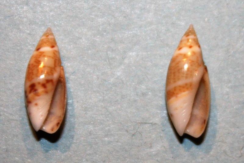Olivella pulchella - (Duclos, 1835) 3-oliv10