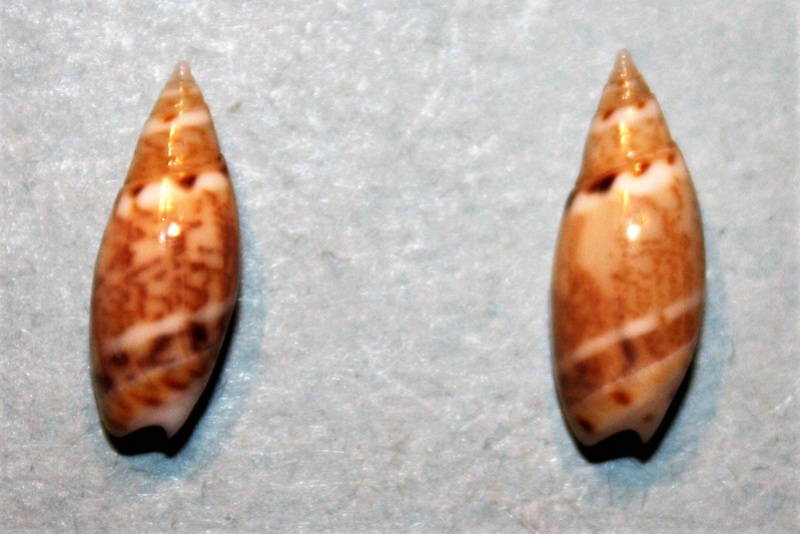 Olivella pulchella - (Duclos, 1835) 4-oliv10