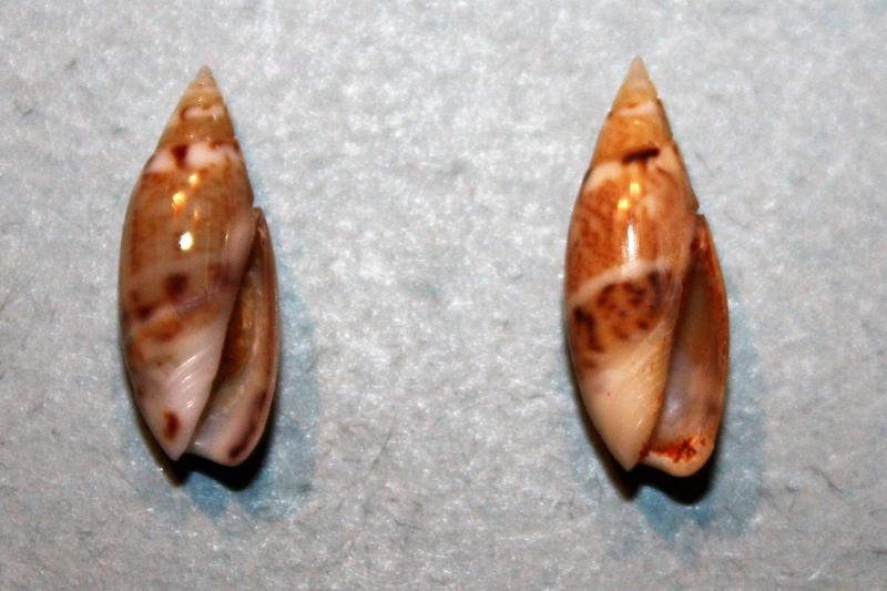 Olivella pulchella - (Duclos, 1835) 5-oliv10