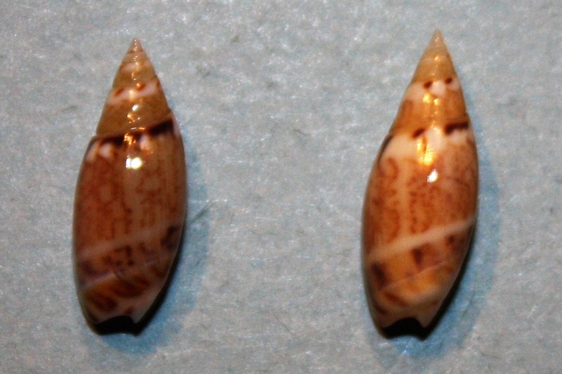 Olivella pulchella - (Duclos, 1835) 6-oliv10