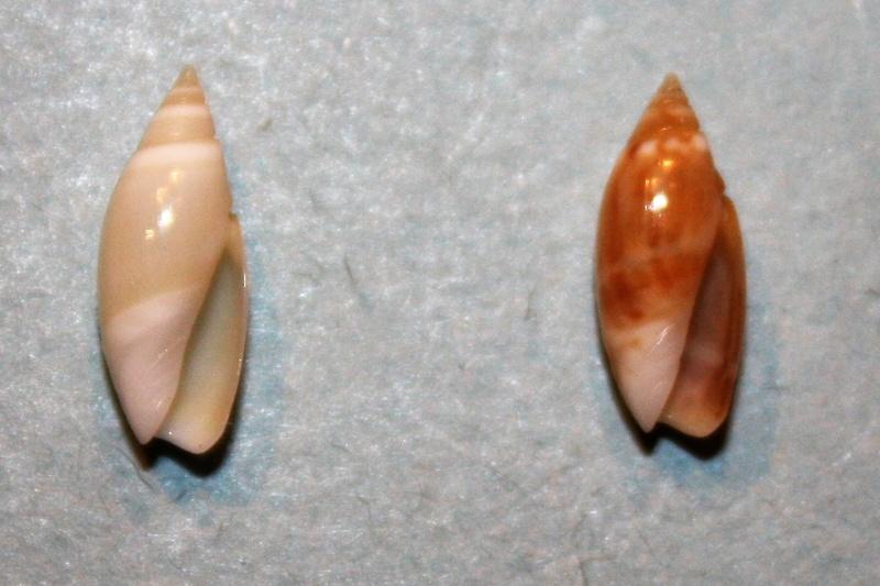 Olivella pulchella - (Duclos, 1835) 7-oliv10