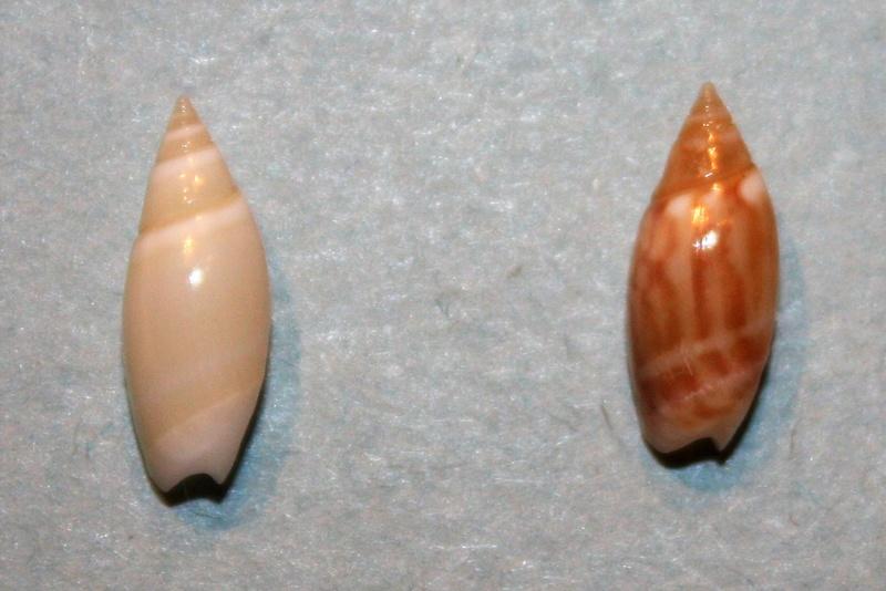 Olivella pulchella - (Duclos, 1835) 8-oliv10