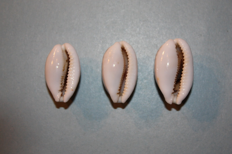 Cribrarula cribraria australiensis - Lorenz, 2002 Cribra14