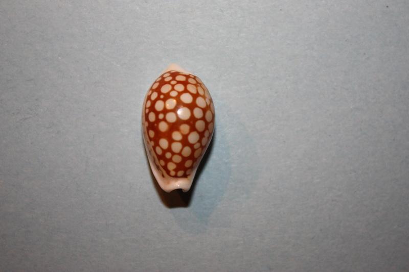 Cribrarula cribraria comma - (Perry, 1811) Cribra22