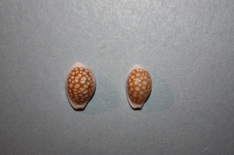 Cribrarula abaliena - Lorenz, 1989 Img_7827