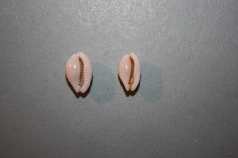Cribrarula abaliena - Lorenz, 1989 Img_7830