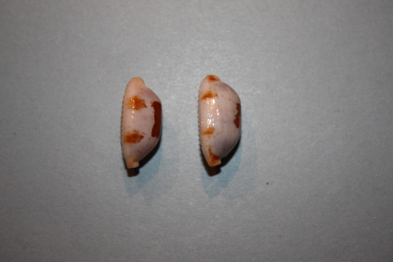 Bistolida stolida aureliae - Cossignani, 2017 Img_7911