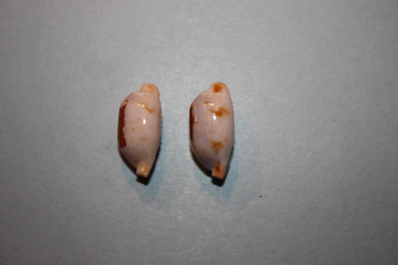 Bistolida stolida aureliae - Cossignani, 2017 Img_7912