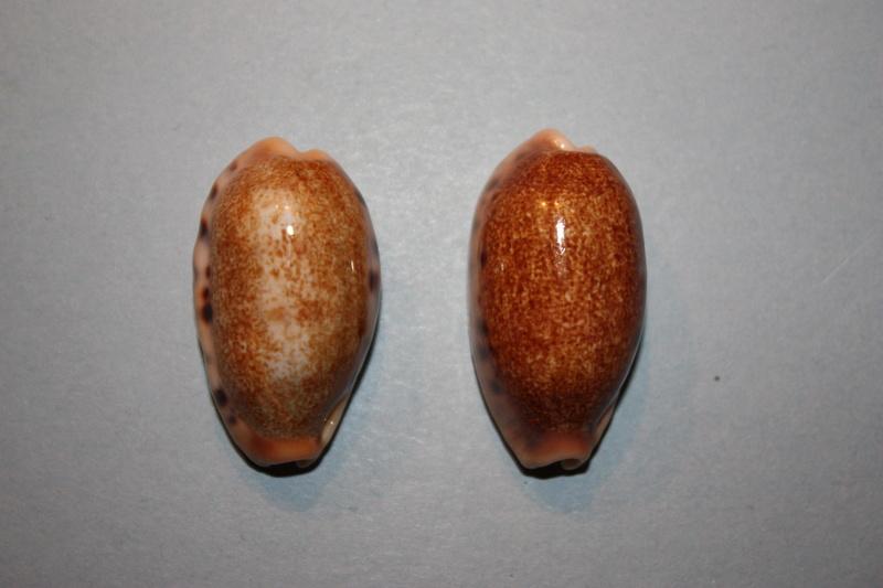 Erronea caurica chrismeyeri - Lorenz, 2017 Img_7922