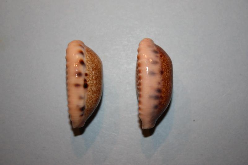 Erronea caurica chrismeyeri - Lorenz, 2017 Img_7923