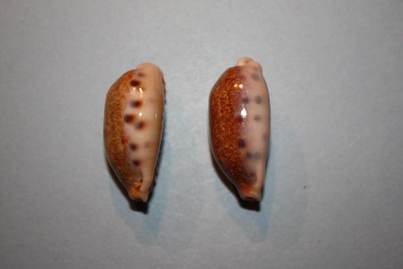 Erronea caurica chrismeyeri - Lorenz, 2017 Img_7924