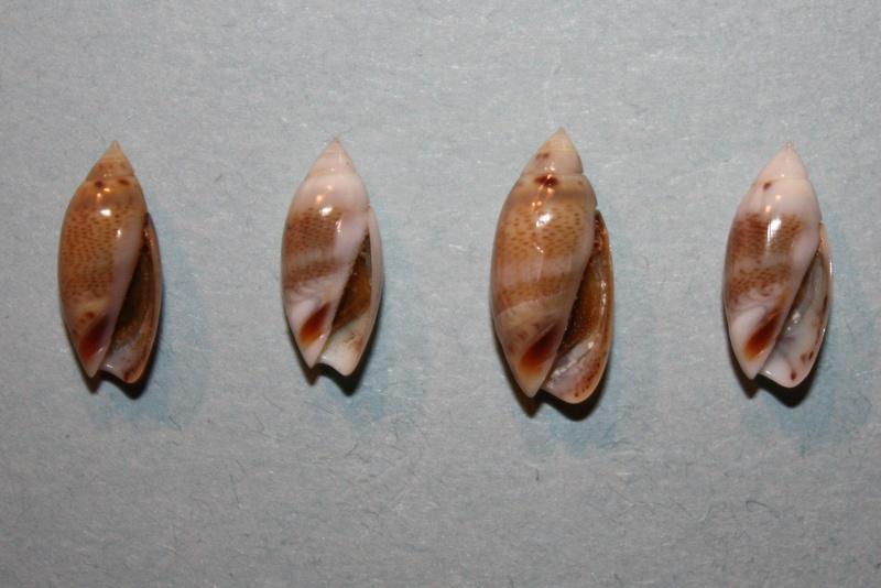 Olivella millepunctata - (Duclos, 1840)  Img_8138