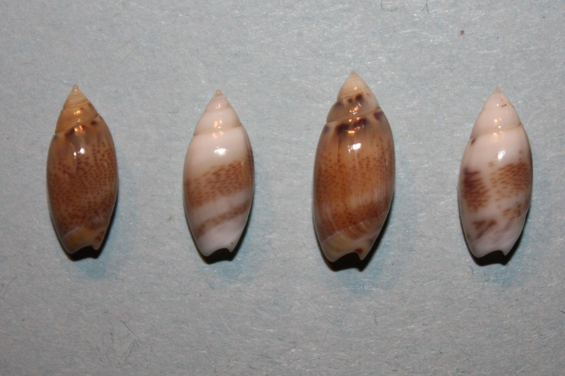Olivella millepunctata - (Duclos, 1840)  Img_8139