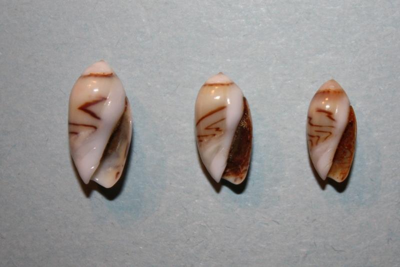 Olivella nana - (Lamarck, 1811) Img_8140