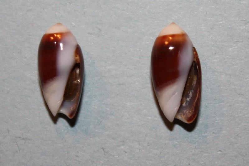 Olivella nana - (Lamarck, 1811) Img_8142