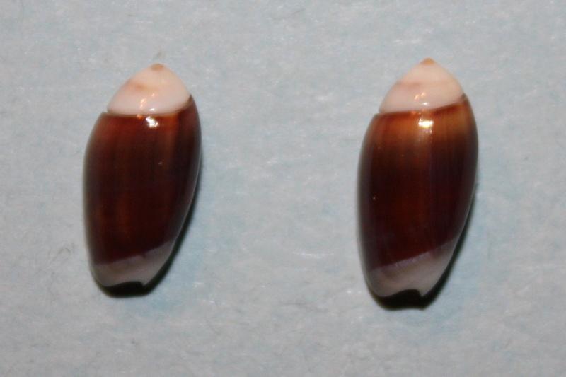 Olivella nana - (Lamarck, 1811) Img_8143