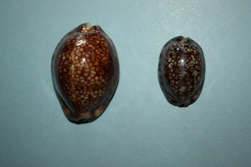 Mauritia maculifera andreae - U.Erdmann & F.Lorenz, 2017 Maurit12
