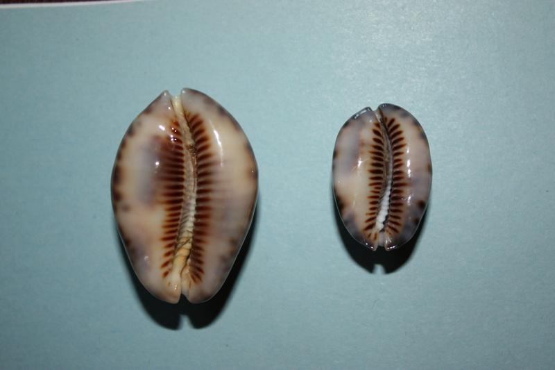 Mauritia maculifera andreae - U.Erdmann & F.Lorenz, 2017 Maurit13