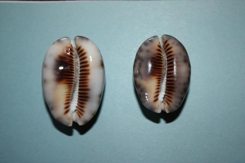 Mauritia maculifera martybealsi Lorenz, 2002 - Page 3 Maurit15