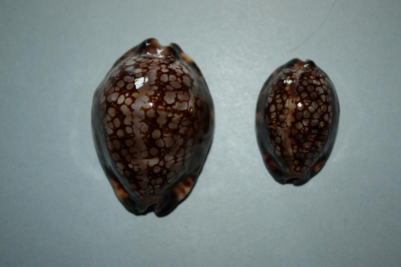 Mauritia maculifera martybealsi Lorenz, 2002 - Page 3 Maurit16