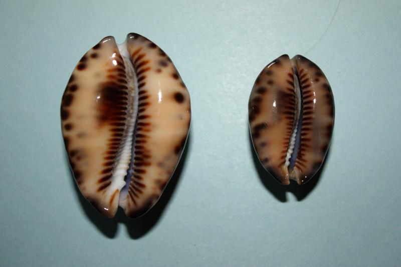 Mauritia maculifera martybealsi Lorenz, 2002 - Page 3 Maurit17