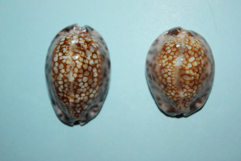 Mauritia maculifera scindata - Lorenz, 2002 - Polynésie Française - Page 2 Maurit18