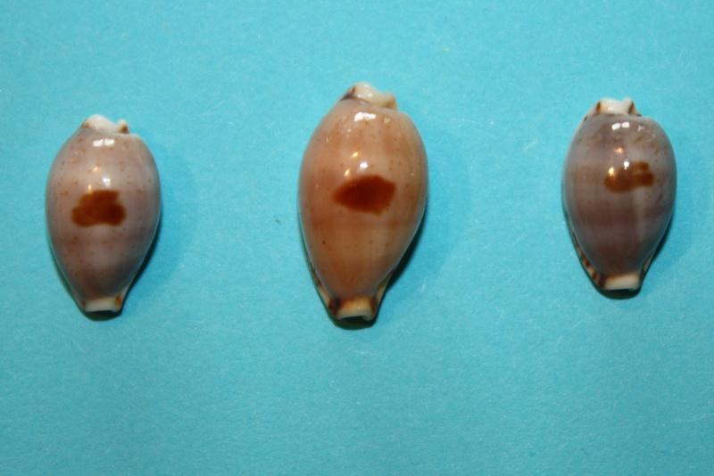 Palmadusta contaminata - (Gray, 1832) Palmad10