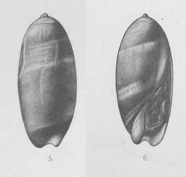 Genre Turrancilla von Martens, 1903  - Espèces actuelles Turran20