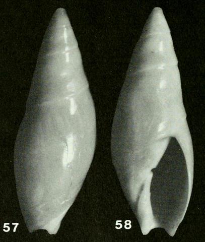 Genre Turrancilla von Martens, 1903  - Espèces actuelles Turran21