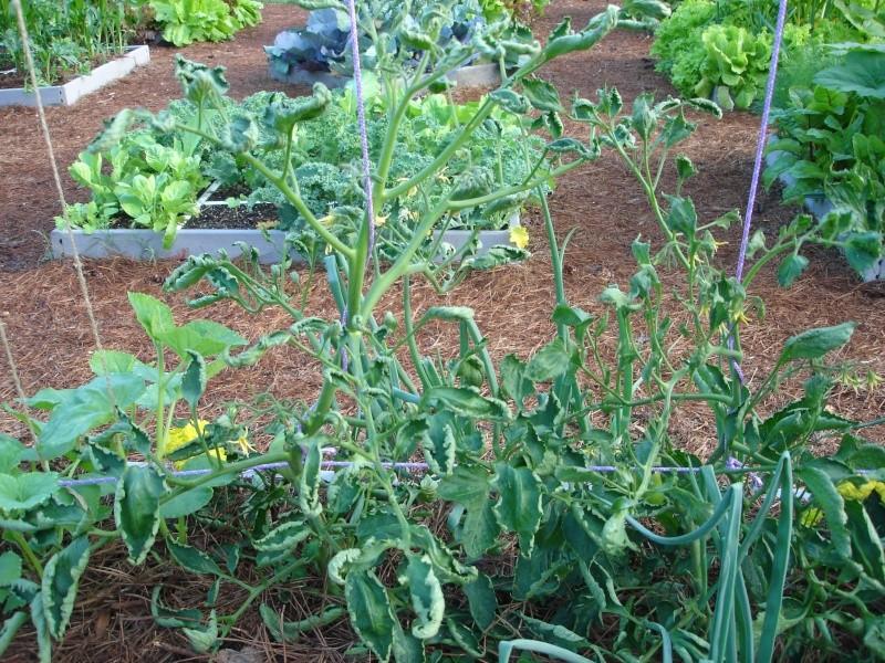 Tomato Question Dsc02212