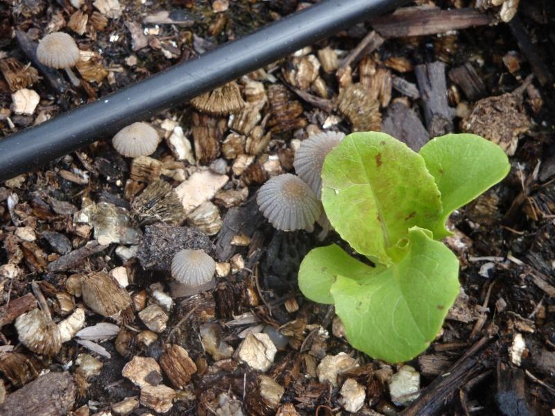 Mushrooms in my soil Dsc01829