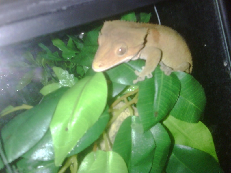 Hi introducing my breeding Crested gecko's Reptil10