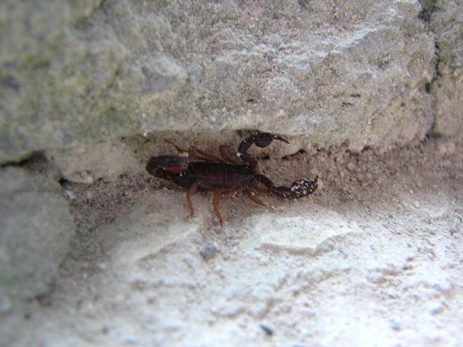 Help with ID - Euscorpius Bigger10