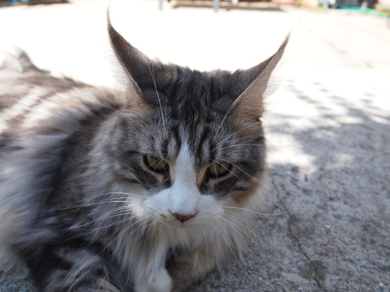 Un lynx dans le jardin... Où pas ... P5190111