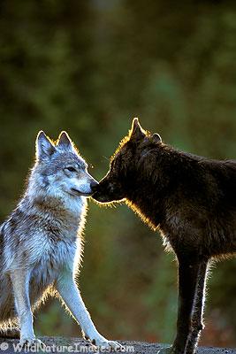 DarkBlades Wolf Bio Gw267h10