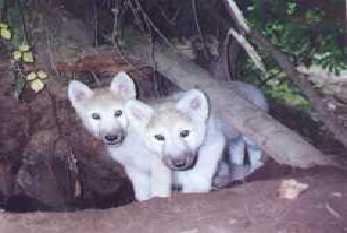 DarkBlades Wolf Bio Gw347h11