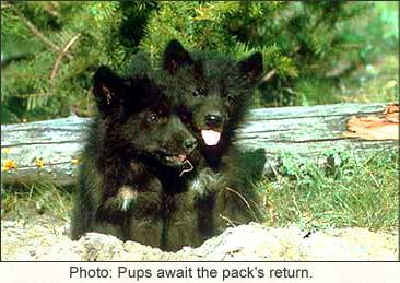 DarkBlades Wolf Bio Gw366h10