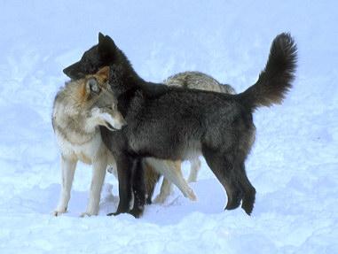 DarkBlades Wolf Bio Gw381h10