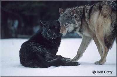 DarkBlades Wolf Bio Gw400h10