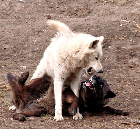 DarkBlades Wolf Bio Gw460h10