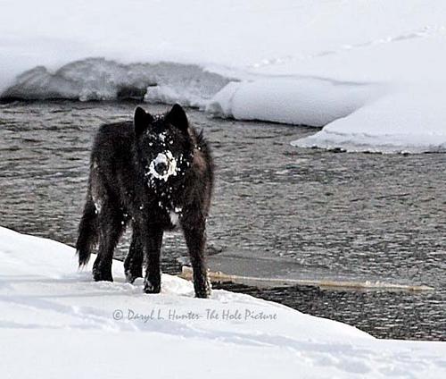 DarkBlades Wolf Bio Gw500h10