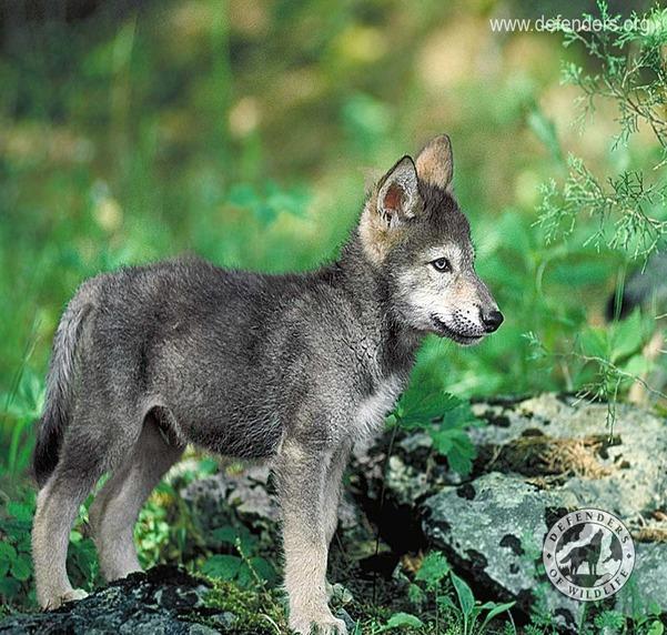 DarkBlades Wolf Bio Gw601h11