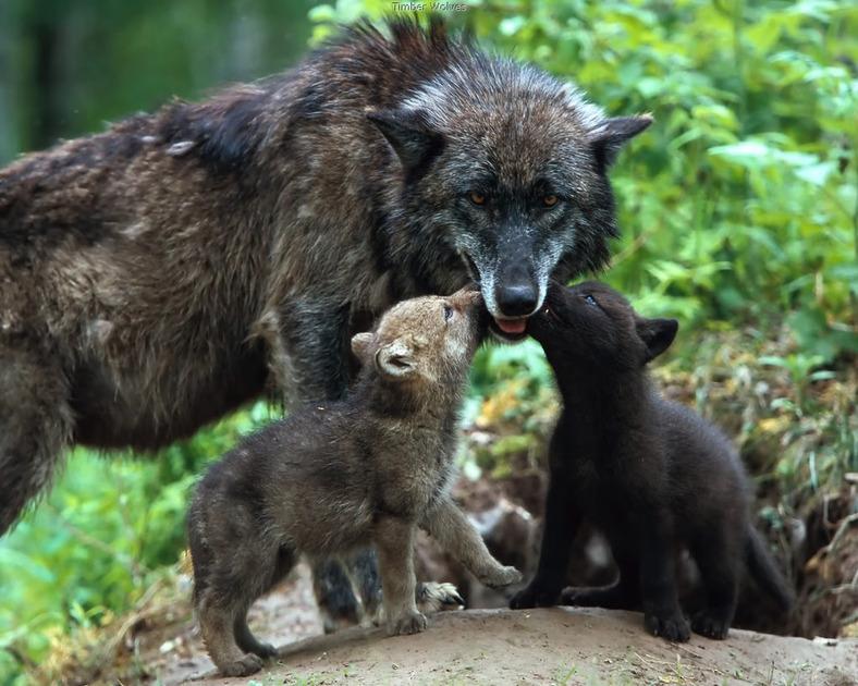 DarkBlades Wolf Bio Gw788h10